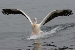 Pelikan
