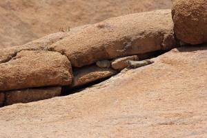 Rock Dassies